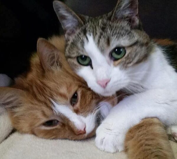 Two cats cuddling. One cat is orange and white and the other cat is white and grey. Both cats have green eyes