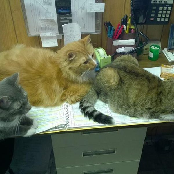 Three cats laying down on an office desk