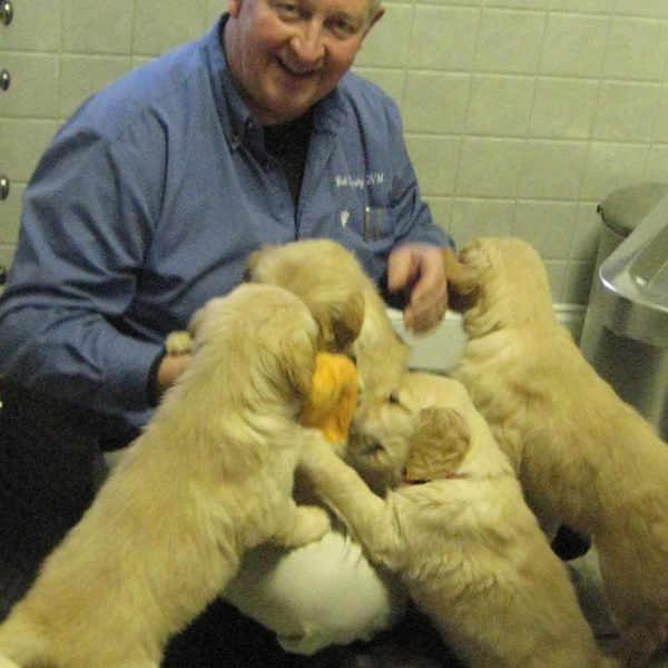 A veterinarian playing with a bunch of yellow labrador puppies