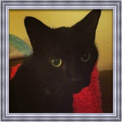 An all black cat with green eyes that has passed named Samurai