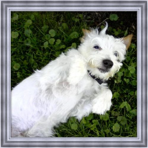 A small white dog that has passed named Squanto laying down in the grass