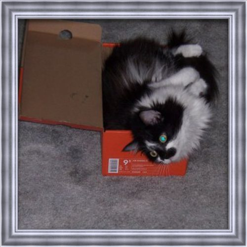 A fluffy white and black cat that has passed named Stewie laying down in a box