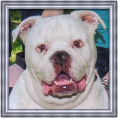 A large white English Bulldog that has passed named Mr.Beefy