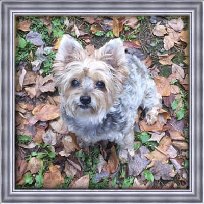 A silver Yorkshire terrier who has passed named Zoey. Zoey is sitting in leaves