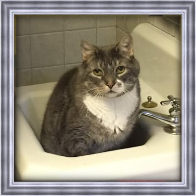 A grey, and white cat that has passed named Bubba in a bathroom sink